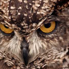 Owl Eyes by Graham Hill - Animals Birds ( birds of prey, stare, owl, intense, closeup, eyes,  )