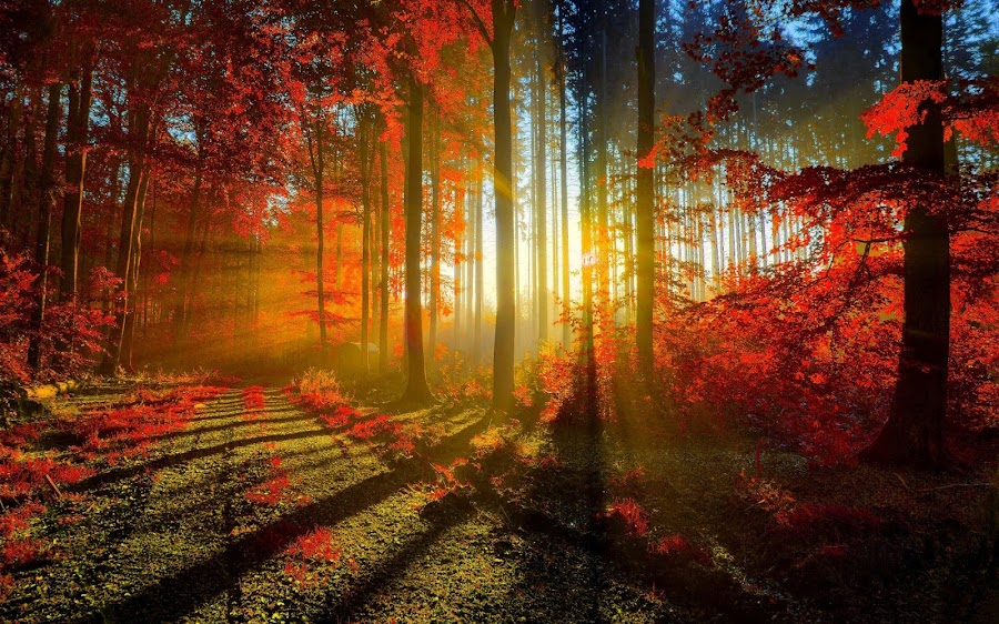 The Red Forest in the morning by Abbas Mohammed - Landscapes Forests ( love, sexy, red, sun rise, color, shine, forest, rays,  )