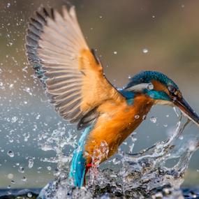 kingfisher by Riccardo Trevisani - Animals Birds ( riccardo trevisani, wild, kingfisher, wildlife )