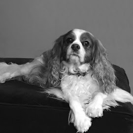 Daisy in Black and White by Kristine Nicholas - Novices Only Pets ( cavalier, dogs, spaniel, black and white, white, cavalier king charles, gray, blennan, pet, pets, grey, cavalier king charles spaniel, dog, black )