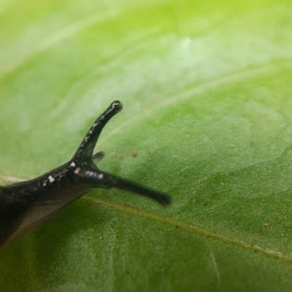 snail on leaf by Kamlesh Lodaya - Animals Other ( #nature, #leafs, #snail )