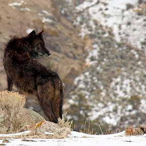 Alpha Female Wolf by Diana Treglown - Animals Other Mammals ( yellowstone, mountains, wolf, montana, wolves )