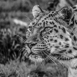 Leopard by Garry Chisholm - Black & White Animals ( nature, big cat sanctuary, amur leopard, smarden, garry chisholm )
