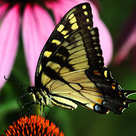 Swallowtail by Bruce Arnold - Animals Insects & Spiders