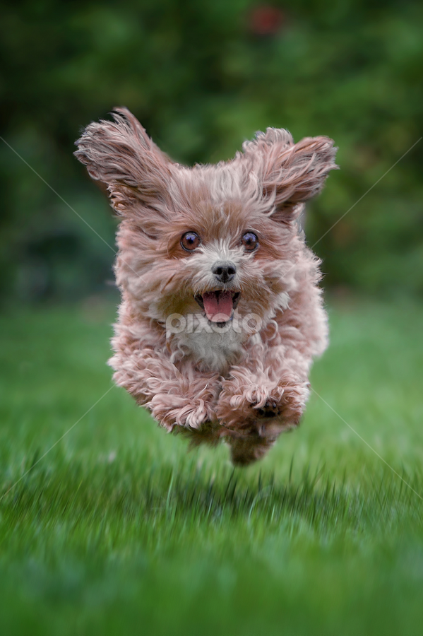 by Michael Milfeit - Animals - Dogs Running ( natural light, playful, jumping, joy, puppie, run, cute, pwc76, running, natural background, adorable dogs, happy, animals in motion, action, motion, animal, moving, animalia, charging, jump, canine, joyful, bolonka, staff favorites, dog, natural, , #GARYFONGPETS, #SHOWUSYOURPETS )