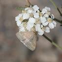 Unknown Moth on Yarrow