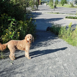 Goldendoodle exploration by Kim Jackson - Animals - Dogs Playing ( parking lot, pathway, trees, weeds, goldendoodle, gravel, dog )