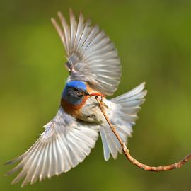 Lunch by Dan Pham - Animals Birds ( bird, bluebird, wing, wildlife, animal )