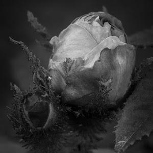 Rosebud bw.jpg
