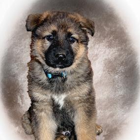 Justice  by Dawn Vance - Digital Art Animals ( male, dog portrait, puppy, dog, german shepherd, puppy portrait, portrait, animal )