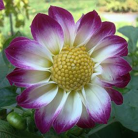 Garden beauty. by Carolyn Kernan - Nature Up Close Flowers - 2011-2013 ( , flower, nature, flowers, purple, yellow, color )