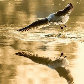Dawn Gull by Ken Cheung - Animals Birds ( mirror, gull, dawn, black-headed gull, fly, golden, reflect )