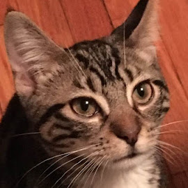 Portrait of a Good Kitty by Lori Fix - Animals - Cats Kittens