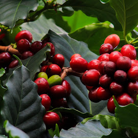 Coffee Been Tree by Tammy Drombolis - Nature Up Close Trees & Bushes (  )