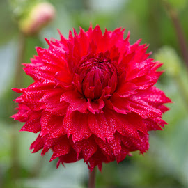 A Big Red One by Janet Marsh - Flowers Single Flower ( red, dahlia,  )