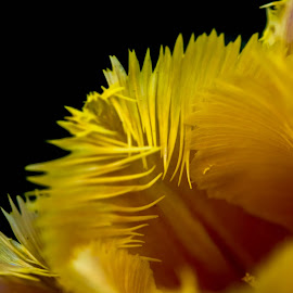 Tulip detail by Darren Sutherland - Abstract Macro
