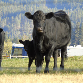 BODYGUARDS by Cynthia Dodd - Novices Only Pets ( field, animals, grazing, nature, calf, farmland, cows )