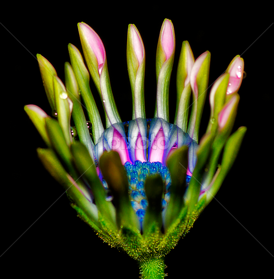 South African Daisy by Peter Greenhalgh - Nature Up Close Flowers - 2011-2013 ( south african daisy, black background, blue-eyed daisy, osteospermum, water drops, daisy )