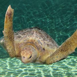 Marine turtoise by Gérard CHATENET - Animals Sea Creatures