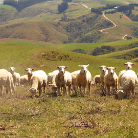 What are Ewe doing??? by Russell Benington - Animals Other Mammals ( farm, animals, ewes, sheep, nz )