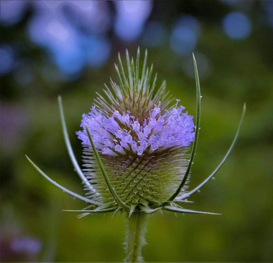 Wild Milkweed by Sue Delia - Flowers Flowers in the Wild ( thorns, violet, purple, wild, milkweed, flower,  )