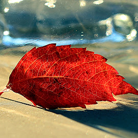 Reflections of leave by Renata Ivanovic - Nature Up Close Leaves & Grasses ( reflection, leave, shadow, glass, close up )