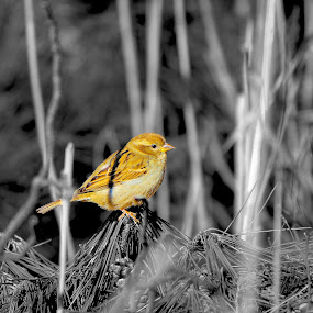 Mellow Yellow by Cheryl Thomas - Animals Birds ( b&w, colors, trees, yellow, birds,  )