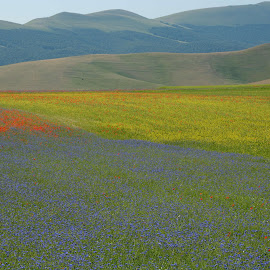 Castelluccio 6 by Bruno Brunetti - Landscapes Prairies, Meadows & Fields ( colors, flowers, italy, castellluccio, fields,  )