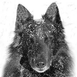 Snow Covered Bo  by Robert Maxwell - Animals - Dogs Portraits