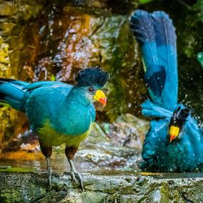 Bath Time by Ken Nicol - Animals Birds (  )