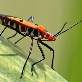 Cotton Stainer Bug by Helnis Susanto Johannis - Animals Insects & Spiders (  )