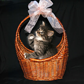 Beautiful Present by Darcie Wright - Animals - Cats Portraits ( kitty kitten cat pet animal basket ribbon )