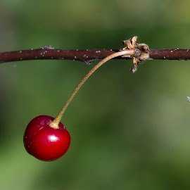 lonely cherry by Adrian Botescu - Nature Up Close Gardens & Produce ( cherry )