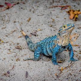Blue Iguana by Dale Youngkin - Animals Reptiles ( costa rica, iguana, manuel antonio, reptile, blue iguana )