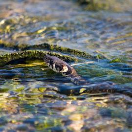 Grass snake by Ioana Cristina - Animals Reptiles ( water, wild, snake, nature, grass, natrix, swim, wildlife, snakes, photography, herping )