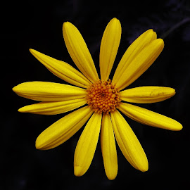 Yellow Daisy by Sarah Harding - Novices Only Flowers & Plants ( colour, novices only, yellow, close up, flower )