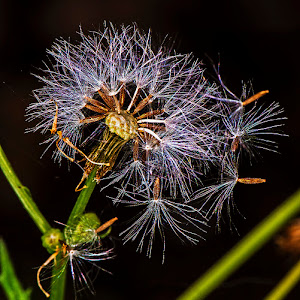 tx dandylion seeds scatter .jpg