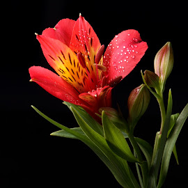 by Sanjib Paul - Flowers Single Flower