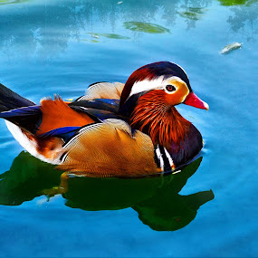 Mandarin Duck by Arjay Jimenez - Animals Birds
