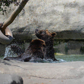 Bears having fun by Emily Lemmon - Animals Other