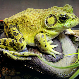 Bullfrog by Laura Horne - Animals Amphibians