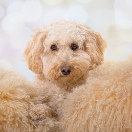 Fluffy Dog on Fluffy Cushions by Linda Johnstone - Animals - Dogs Portraits ( pet photography, lighting, labradoodle, cute, white fur, portrait )
