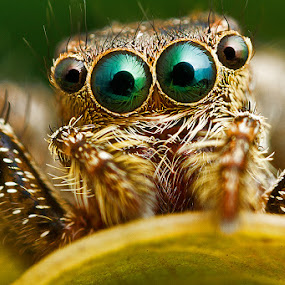 Jumping Spider by ธเนศ ขวยไพบูลย์ - Animals Insects & Spiders ( canon, jumping, spider )