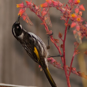 FEED ME by Adam Visscher - Animals Birds ( new holland, honey eater, bird )