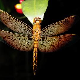 DRAGON FLY by Dedi Mulyadi Rusnandar - Animals Insects & Spiders ( animals, dragon fly, insects, insect, animal )