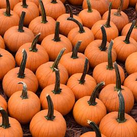 Pumpkins 4 by Keith Heinly - Food & Drink Fruits & Vegetables ( farm, pumpkin, georgia, jasper, burt's )