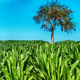 Tree in the Corn by Richard Michael Lingo - Landscapes Prairies, Meadows & Fields ( indiana, trees, landscapes, corn, fields )