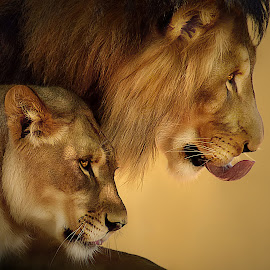 Double the Trouble by Shawn Thomas - Animals Lions, Tigers & Big Cats (  )