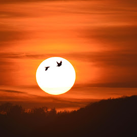 Fly-by sunset by Sharon Davies - Novices Only Landscapes ( bird, orange, sky, nature, silhouette, sunset )