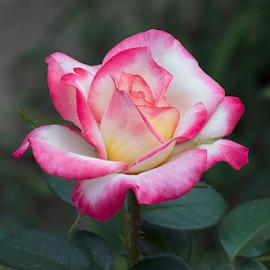 beautiul rose by LADOCKi Elvira - Flowers Single Flower ( rose, nature, flowers, garden,  )